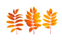 Drei Aschherbstliche Blätter Stockfotografie