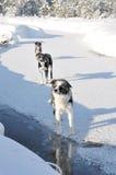 Drei ausgerichtete Hunde auf einem gefrorenen Fluss Stockfotos