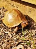 Drei-ausgewichene Dosenschildkröte Stockbild