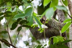 Drei ausgewichene Trägheit in Costa Rica Stockfoto