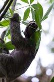 Drei ausgewichene Trägheit in Costa Rica Stockbilder