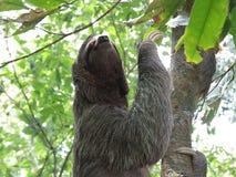 Drei ausgewichene Trägheit, die einen Baum klettert Stockfoto
