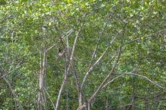 Drei ausgewichene Trägheit hängt in den grünen Bäumen Stockbilder