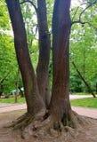 Drei Bäume, die haben sich Wurzeln verflochten und geben den Eindruck, dass man ein großer Baum ist lizenzfreie stockbilder