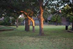 Drei Bäume in einem Park, der das Sonnenlicht des frühen Morgens reflektiert Lizenzfreie Stockfotos