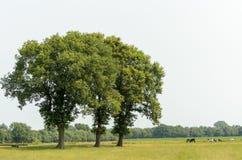 Drei Bäume in einer Wiese mit Kühen Stockfoto
