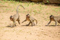 Drei Babymakakenaffen, die auf einem Flecken des Bodens spielen und sich jagen stockfotos