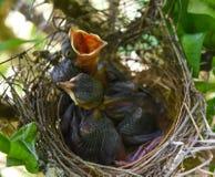 Drei Babys im Nest Stockbilder