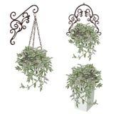 Drei Bilder eines Tradescantia mit bunten Blättern in einem cachepot Stockfotos