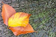 Drei Blätter auf einem alten Buchebaumstumpf Stockfotografie
