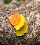 Drei Blätter Rot, grün und gelb auf der Barke des Baums Stockfotografie