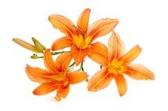 Drei Blumen Lilienlügennahaufnahme Stockfotos