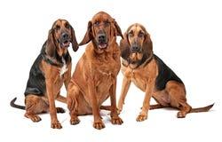 Drei Bluthund-Hunde getrennt auf Weiß Lizenzfreie Stockfotos