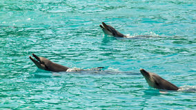 Drei Bottlenose-Delphine (Tursiops Truncatus) Lizenzfreies Stockfoto