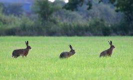 Drei braune Hasen, die auf Seitenweisen stehen Stockfotos