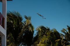 Drei braune Pelikane über einem Erholungsort Lizenzfreies Stockbild