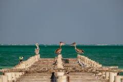 Drei braune Pelikane auf einem alten Pier Stockfotografie