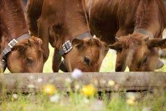 Drei braunes calfs Essen Lizenzfreie Stockbilder