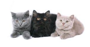 Drei Briten-Kätzchen. Stockfotografie