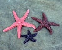 Drei bunte Starfish Lizenzfreie Stockfotografie