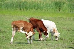Drei calfs Lizenzfreie Stockbilder