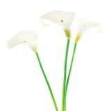 Drei Calla-Lilienblumen getrennt auf Weiß Lizenzfreie Stockfotografie