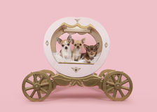 Drei Chihuahuahunde in einem Trainer auf einem rosa Hintergrund Stockfoto
