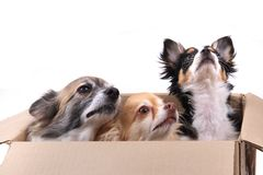 drei Chihuahuahunde im Papierkasten Lizenzfreies Stockbild