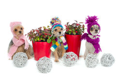 Drei Chihuahuahunde mit Weihnachtsfeldern stockbild