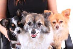 Drei Chihuahuahunde stehen still Lizenzfreie Stockbilder