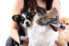 Drei Chihuahuahunde stehen still Lizenzfreie Stockfotografie