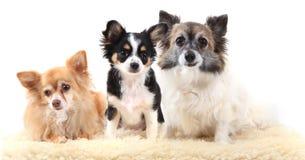 Drei Chihuahuahunde stehen still Stockfotografie