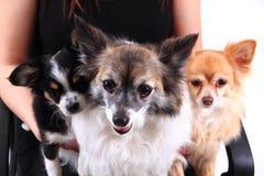 Drei Chihuahuahunde stehen still Stockbilder