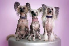 Drei Chinese Crested-Hunde Stockfoto