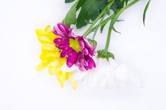 Drei Chrysanthemen zacken aus und färben sich und Weißnahe hohe Makroblumen gelb Stockbild
