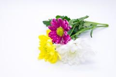 Drei Chrysanthemen zacken aus und färben sich und Weißnahe hohe Makroblumen gelb Lizenzfreies Stockfoto
