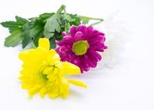 Drei Chrysanthemen zacken aus und färben sich und Weißnahe hohe Makroblumen gelb Lizenzfreie Stockbilder