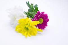 Drei Chrysanthemen zacken aus und färben sich und Weißnahe hohe Makroblumen gelb Stockfoto
