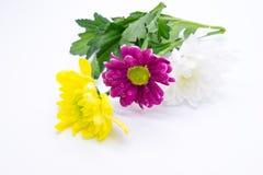 Drei Chrysanthemen zacken aus und färben sich und Weißnahe hohe Makroblumen gelb Stockfotos