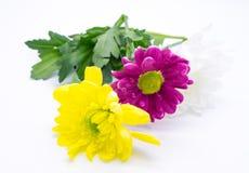 Drei Chrysanthemen zacken aus und färben sich und Weißnahe hohe Makroblumen gelb Lizenzfreie Stockfotos