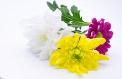 Drei Chrysanthemen zacken aus und färben sich und Weißnahe hohe Makroblumen gelb Lizenzfreie Stockfotografie