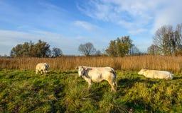 Drei cremefarbene Kühe, die in einem niederländischen Naturreservat weiden lassen Stockfoto