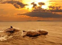 Drei Delphine, die im Sonnenuntergangmeer spielen Stockfoto