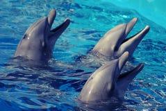 Drei Delphine im Wasser lizenzfreie stockbilder