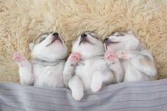 Drei des Welpenschlafens des sibirischen Huskys Stockbild