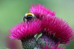 Drei Disteln und eine Biene Lizenzfreies Stockfoto