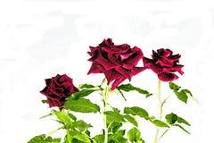 Drei dunkle drastische rote Rosen auf Weiß Lizenzfreie Stockfotografie