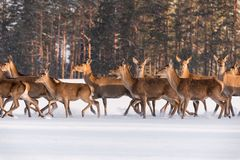 Drei edle Rotwild stehen bewegungslos unter der laufenden Herde im Hintergrund des Winters Forest And Look Closely At Sie Eine He stockbilder