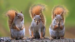 Drei Eichhörnchen stockfoto