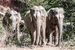 Drei Elefanten Stockfotografie